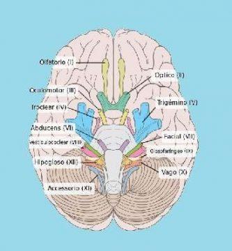 funcion de los nervios craneales