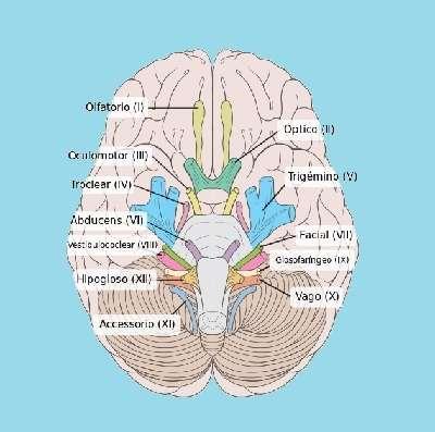 Función de los Nervios Craneales -【Tipos de Nervios Craneales】