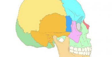funcion de los huesos del craneo