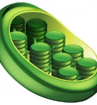 funcion de los cloroplastos