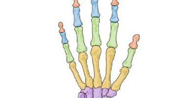 funcion de los huesos cortos