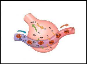 funcion del oxigeno en el cuerpo humano