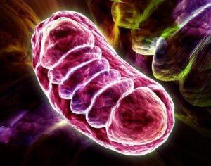 funcion de la mitocondria