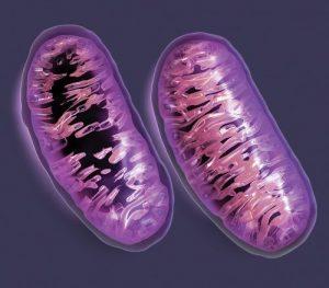funcion de las mitocondrias