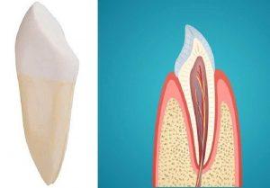 funcion de los dientes caninos