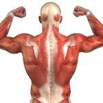 funcion de los musculos
