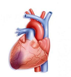 funcion del miocardio