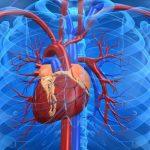 funcion del sistema cardiovascular