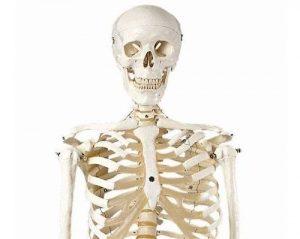 funcion del sistema esqueletico