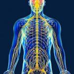 funcion del sistema nervioso
